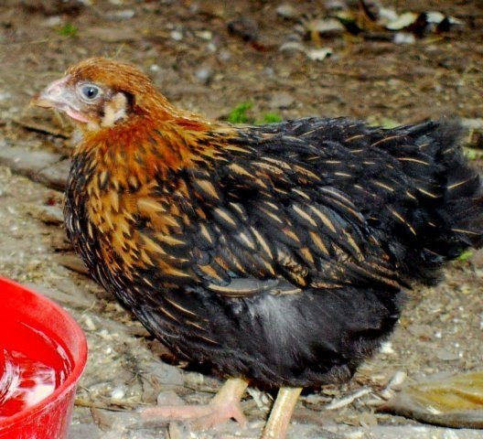Golden Laced Wyandotte Chicken Eggs