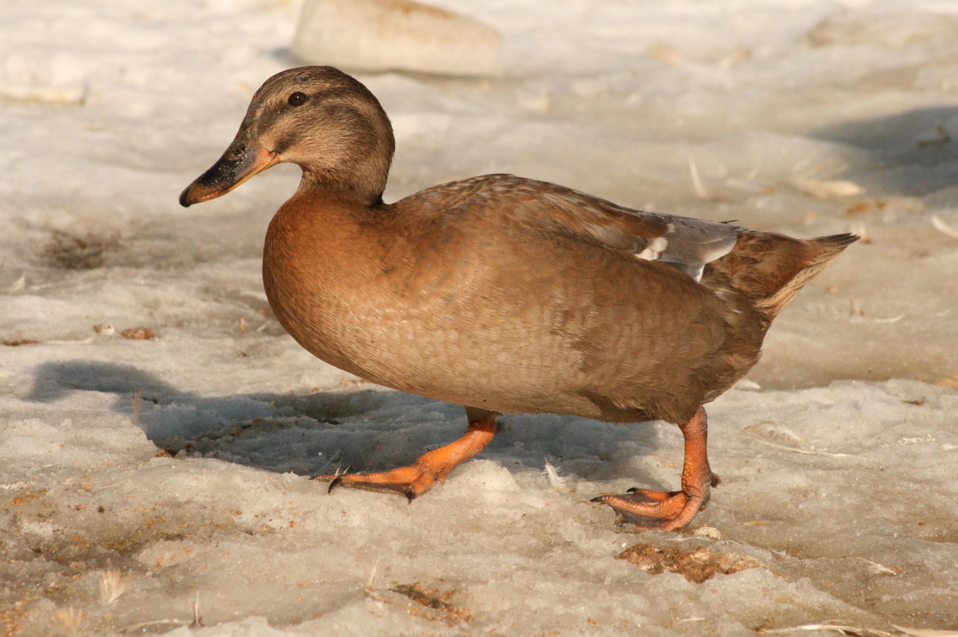 Our Lovely Ducks