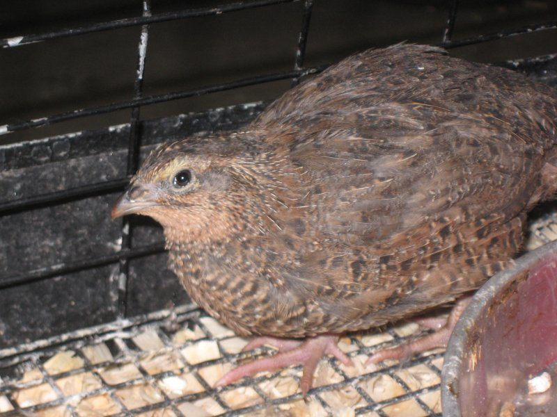 Jumbo coturnix quail - photo#12