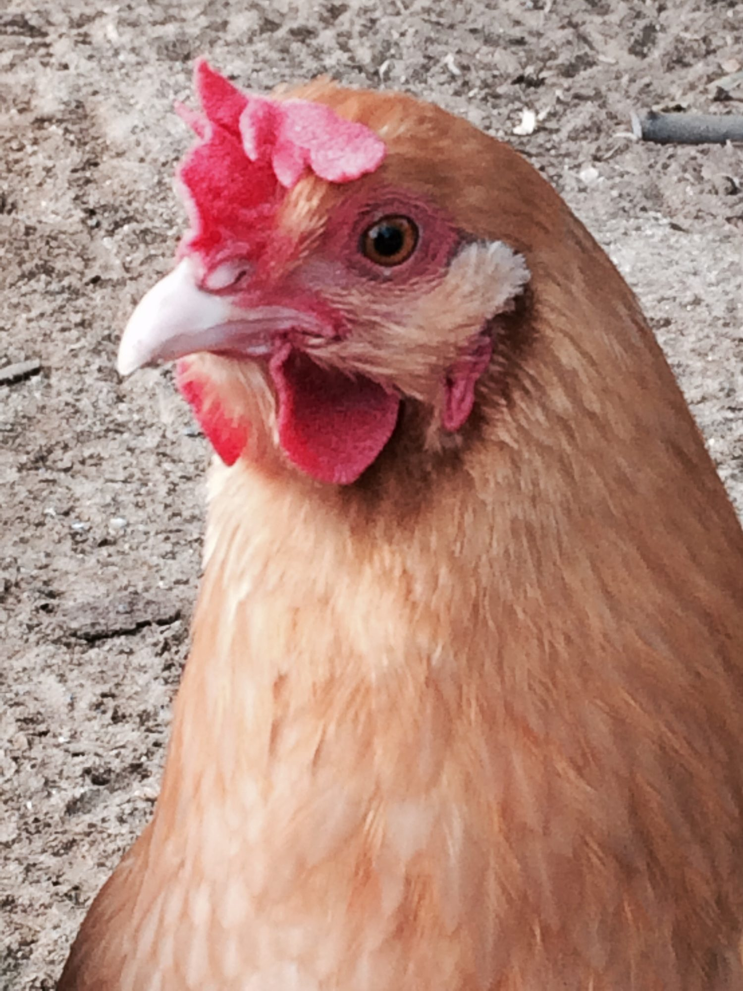 Poor penny got her comb stuck in a fence when she was younger... Now she has a floppy comb!!! Doesn't effect her egg production though!! 😉