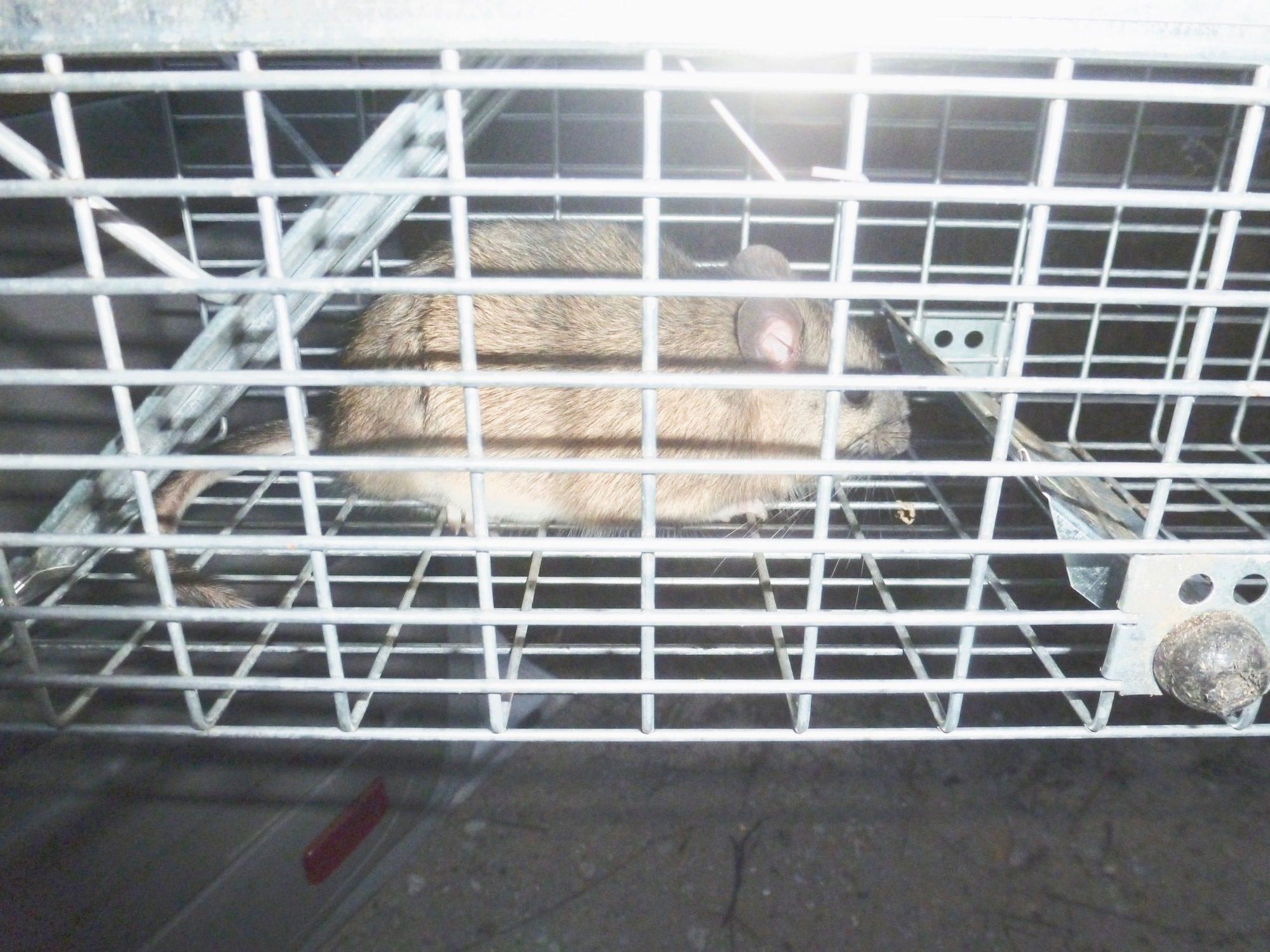 SueT's photos in Rat living under duck house