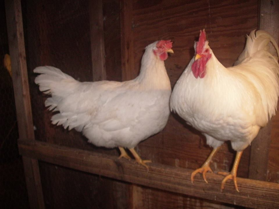 surnikis's photos in Lamona Chicken Fanciers Thread