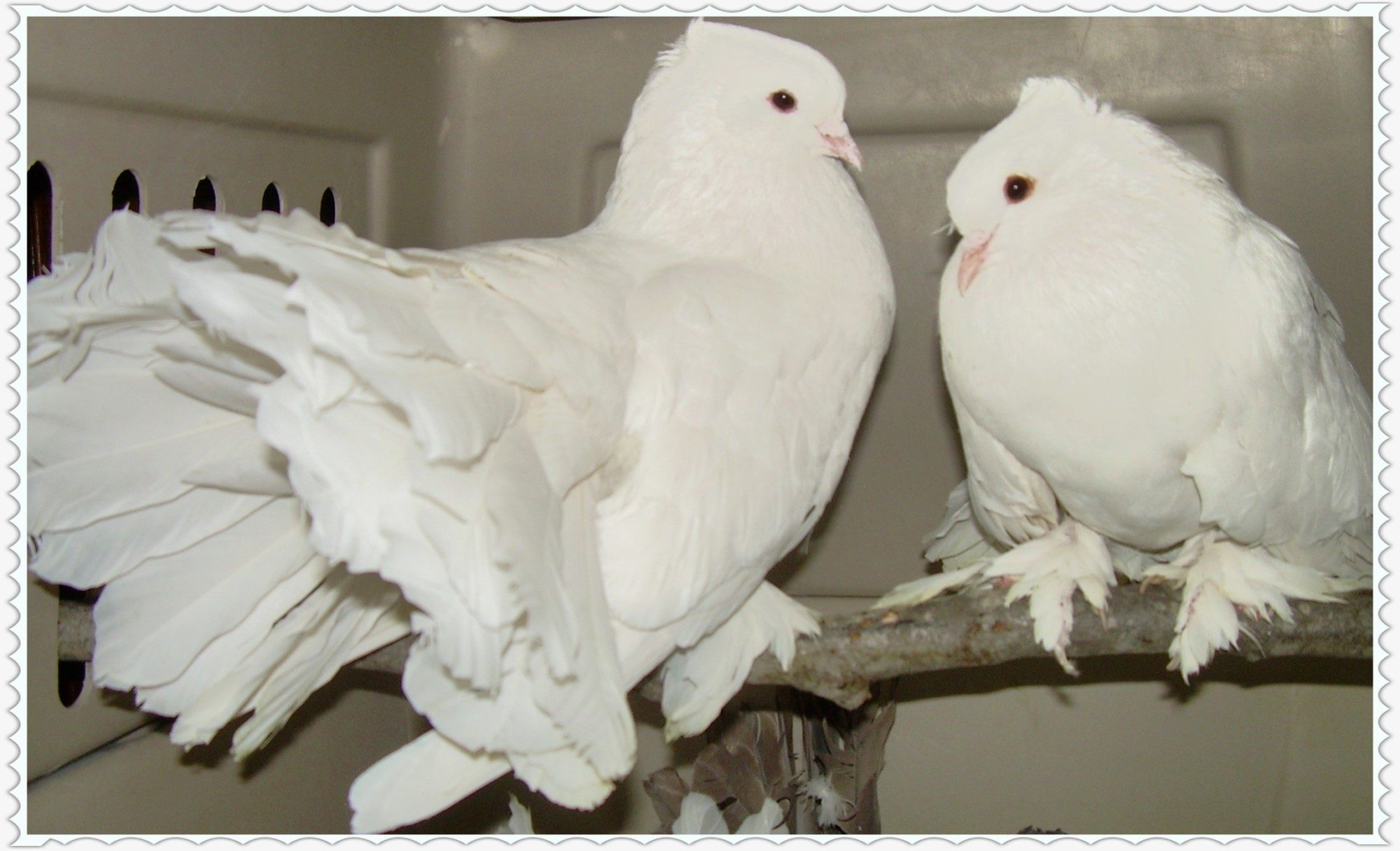 showmesilkies's photos in Everyone Post Your Pigeon Pics!!!!!