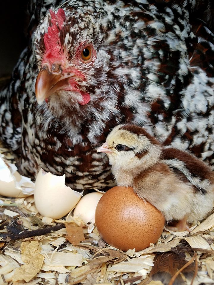 Channel WHEN's photos in Broody Hen Thread!