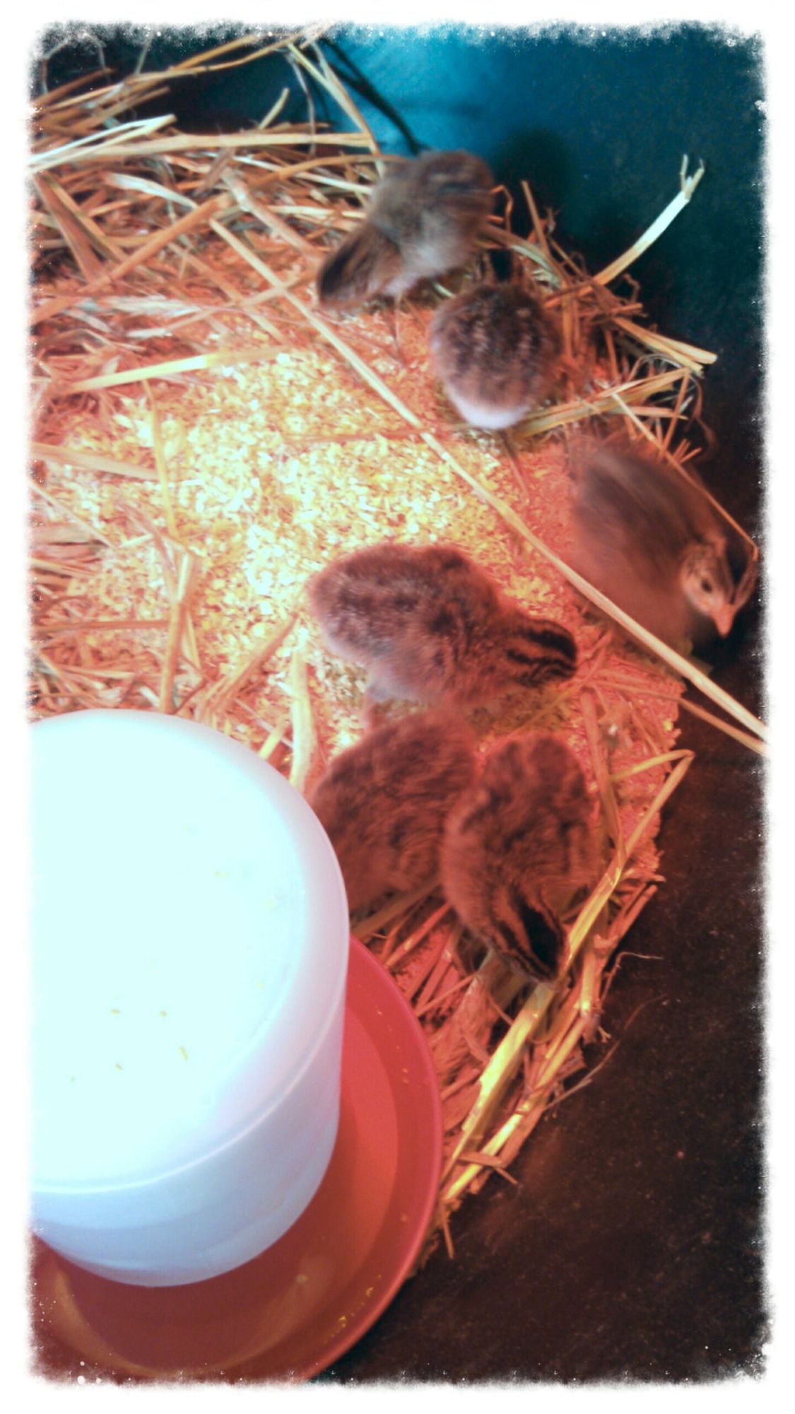 Our first guinea hens. These are 2 days old!