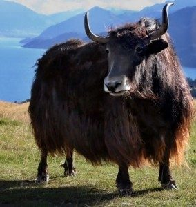 treknature-tibetan-yak-photo-284x300.jpg