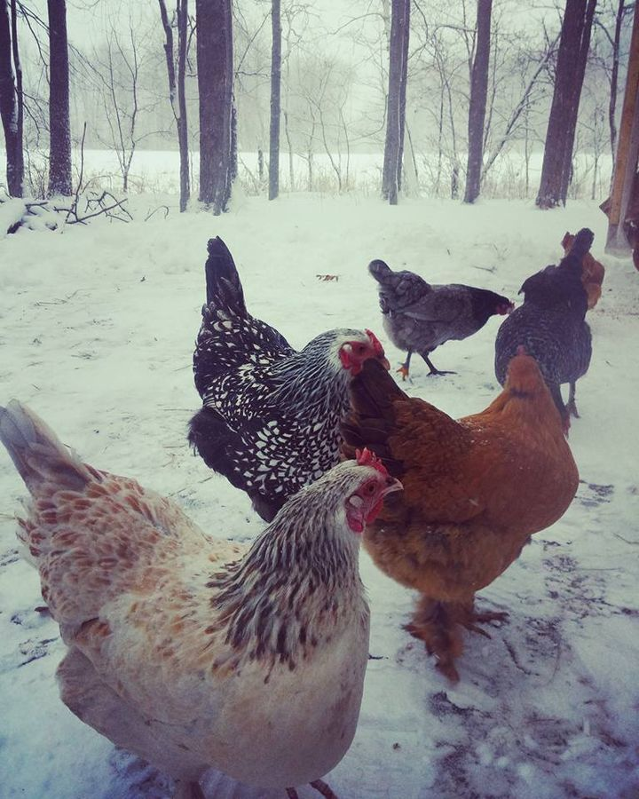 Minnesota winter = cold chickens