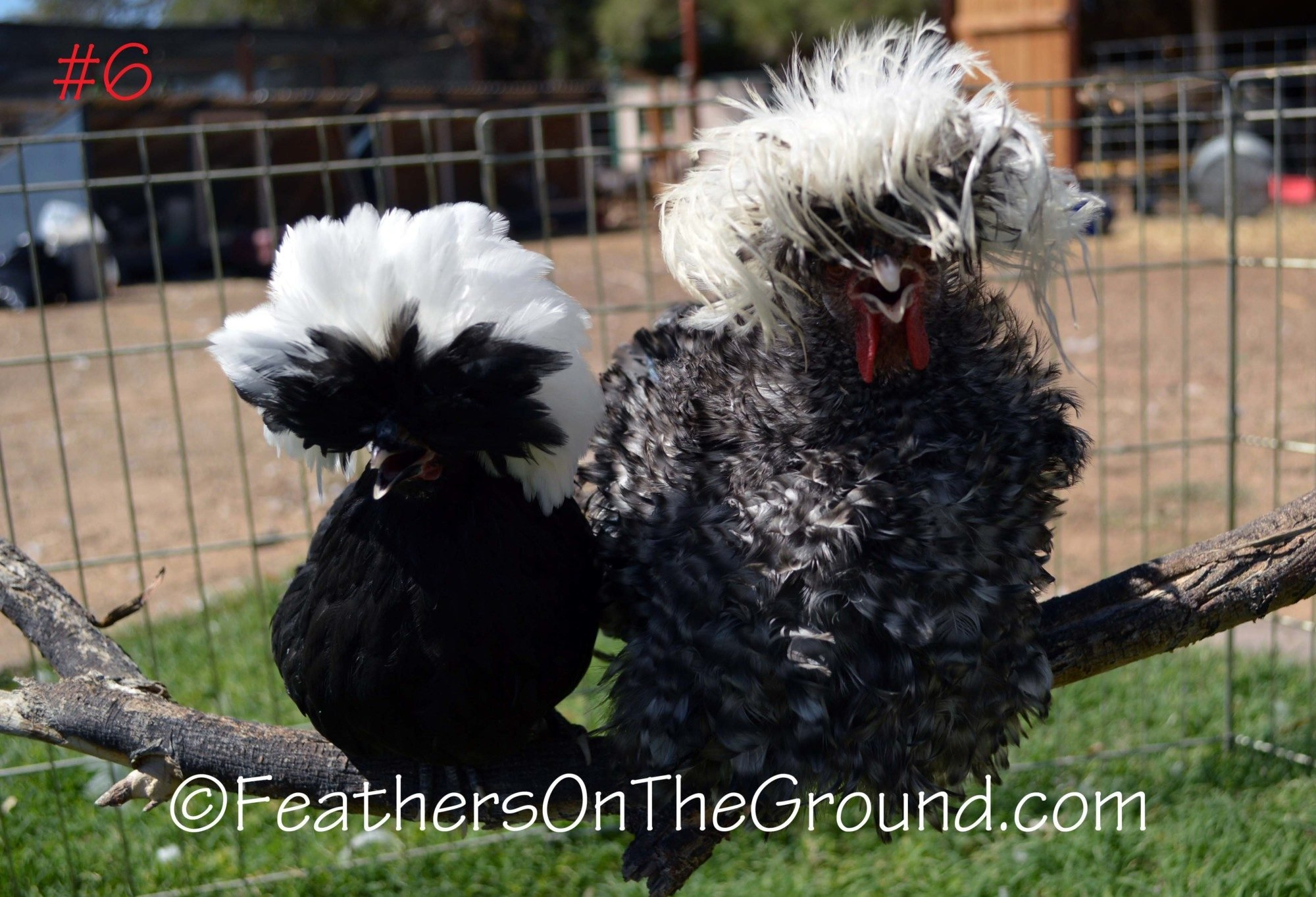 NoseyChickens's photos in White Crested Bantam Polish Pairs - NPIP- Prices starting at $110- Shipping is extra