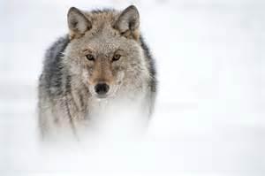 Wolf Photo.jpg