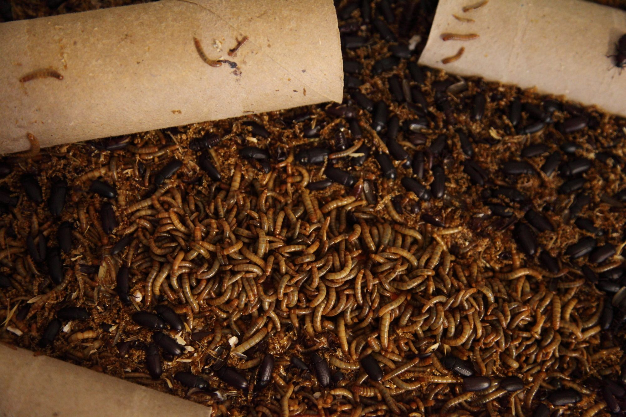 deek's photos in Mealworm farming