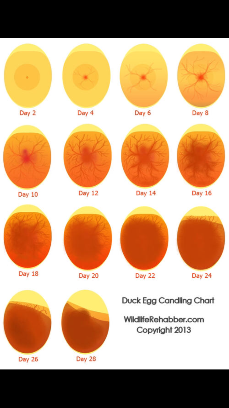 MotorcycleChick's photos in Candling duck eggs help