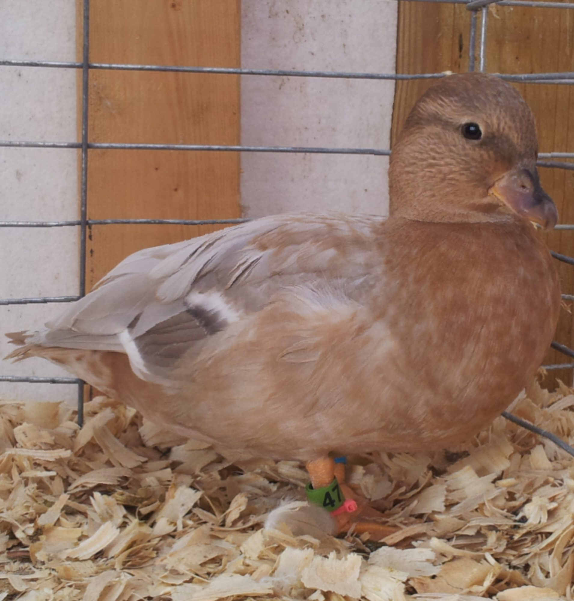 briarpatchfarms's photos in Da' Cute and Cuddly Call Duck thread!