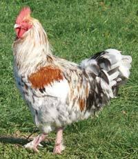 marans_chickens-09.jpg