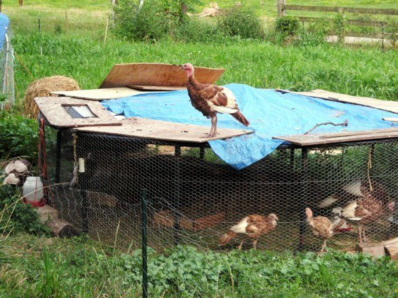 http://cdn.backyardchickens.com/2/25/257ad588_4957_trampoline_coop_1.jpeg