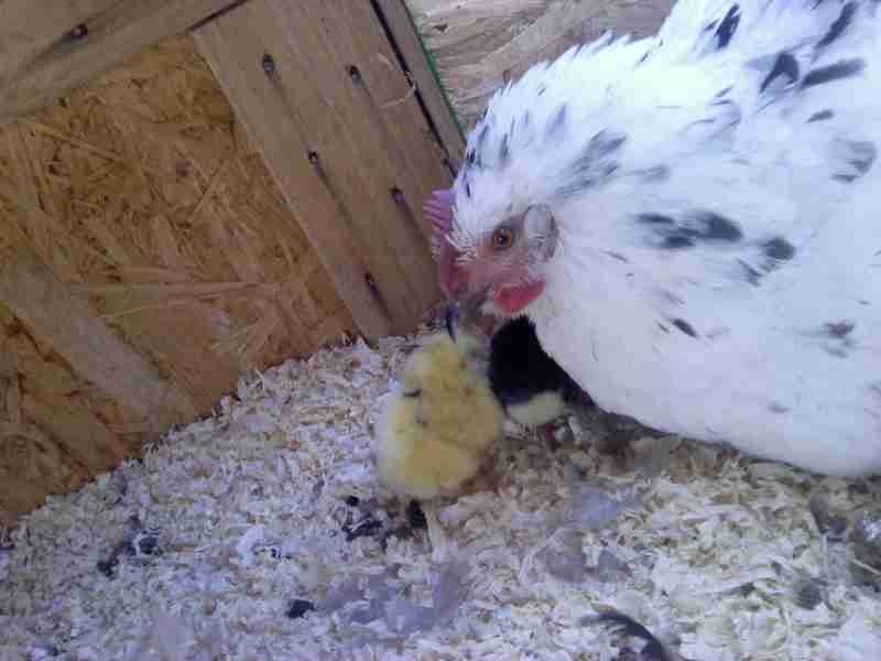 Everstuff's photos in Show off your momma or broody hens!!!