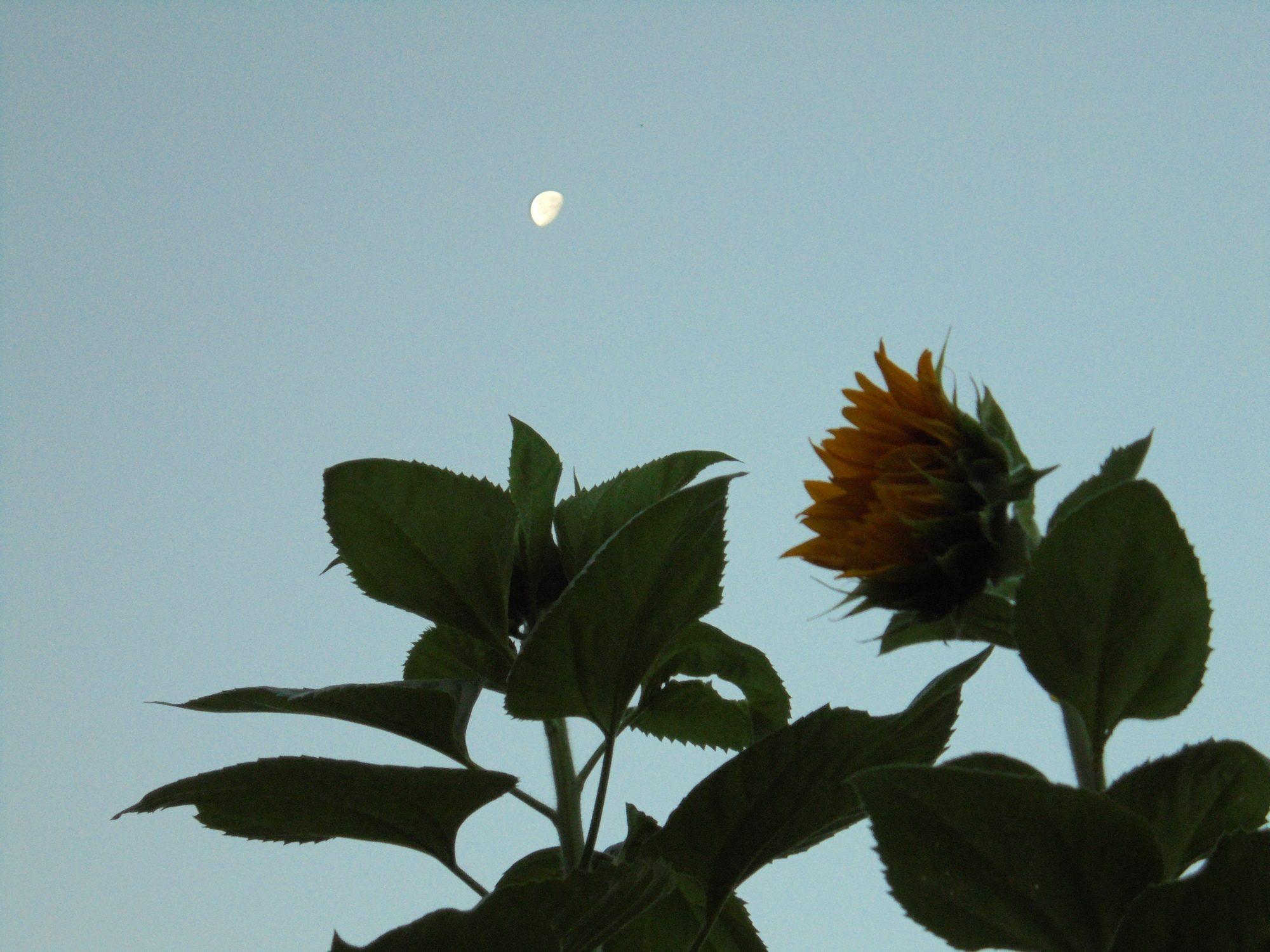 Sunflower Moon 2015.JPG