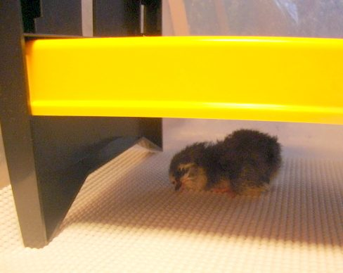 Baby chick under EcoGlow20.