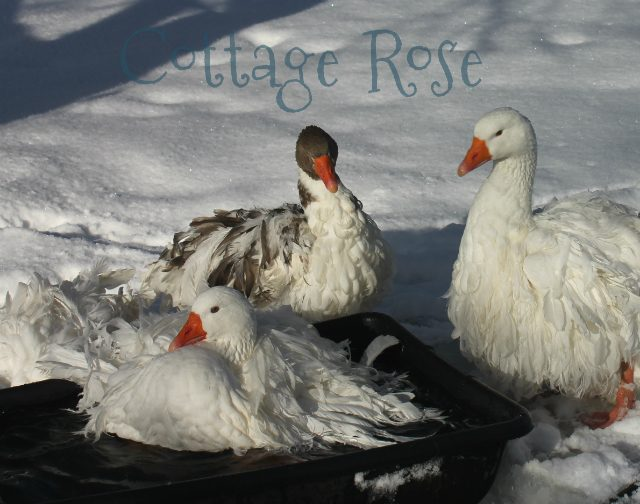 Cottage Rose's photos in My first Winter with geese!
