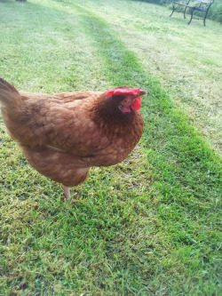 Fierlin1182's photos in Frindizzle's Hen Online Show! - Closes in 7 days!