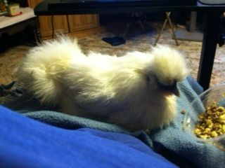 sick chicken, loves to be held to eat.