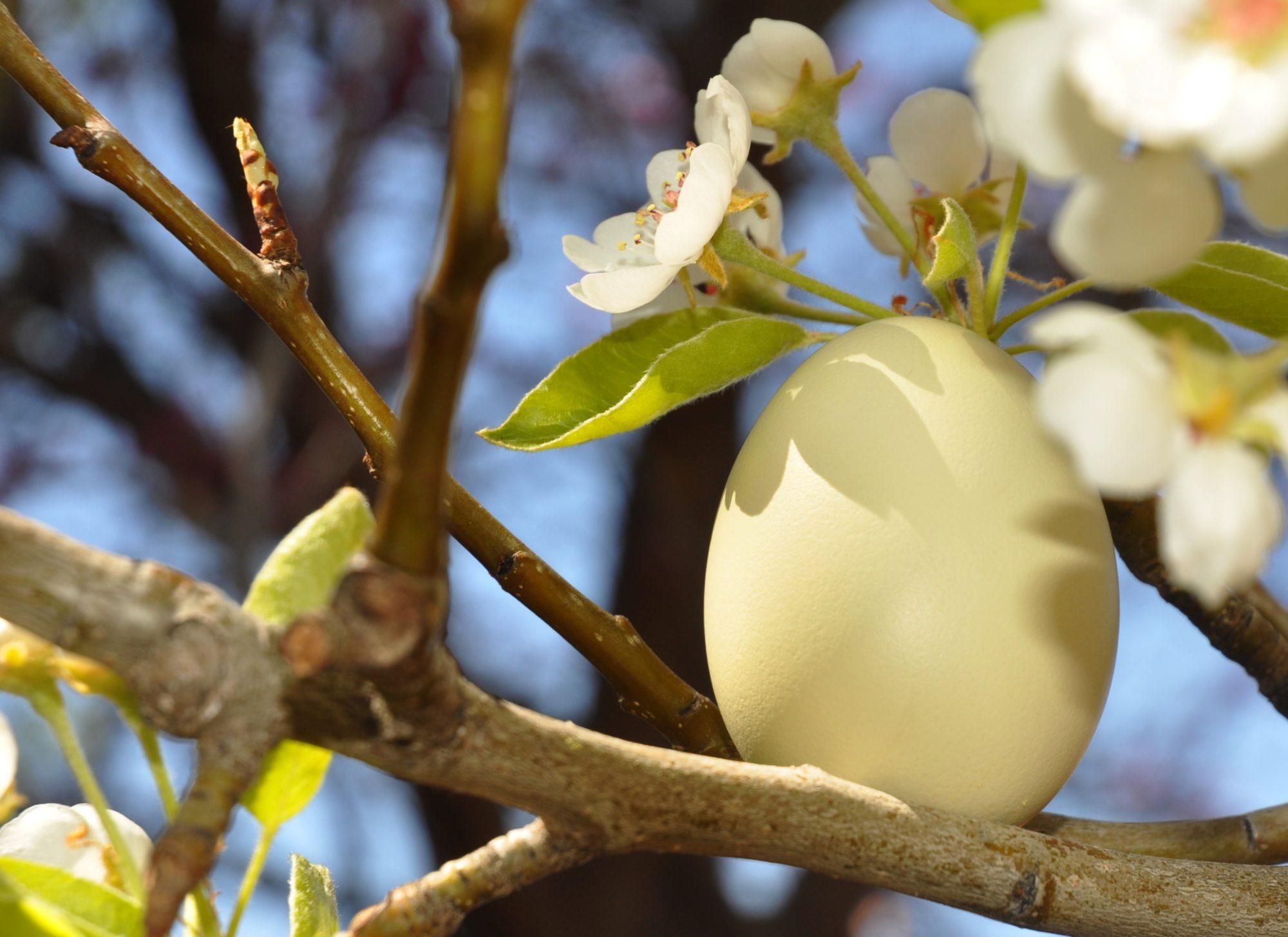 Pear Tree Egg