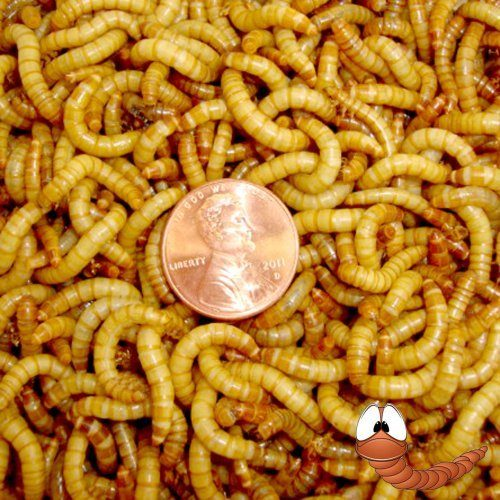 500ct Live Mealworms, Reptile, Birds, Chicken, Fish Food (Free Shipping)