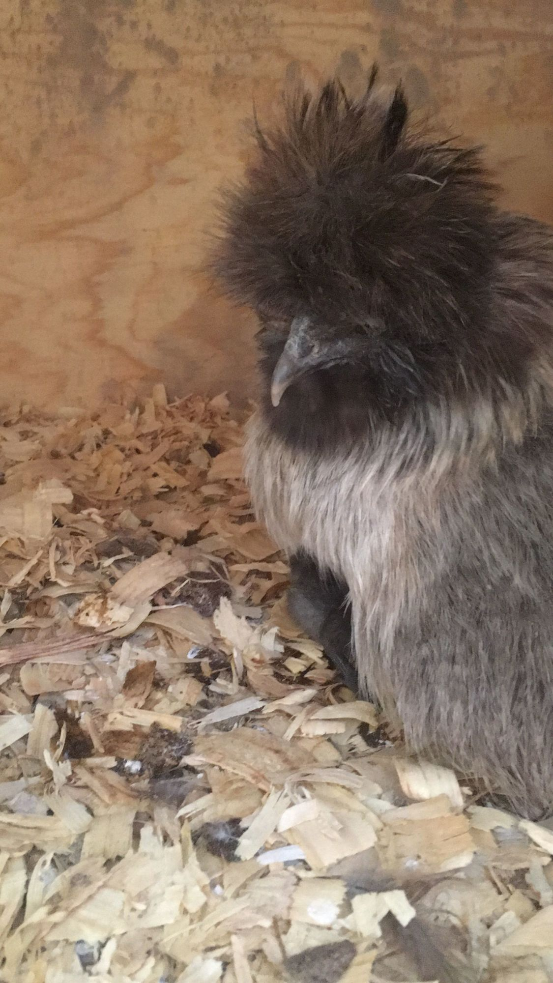 Silkie before molt