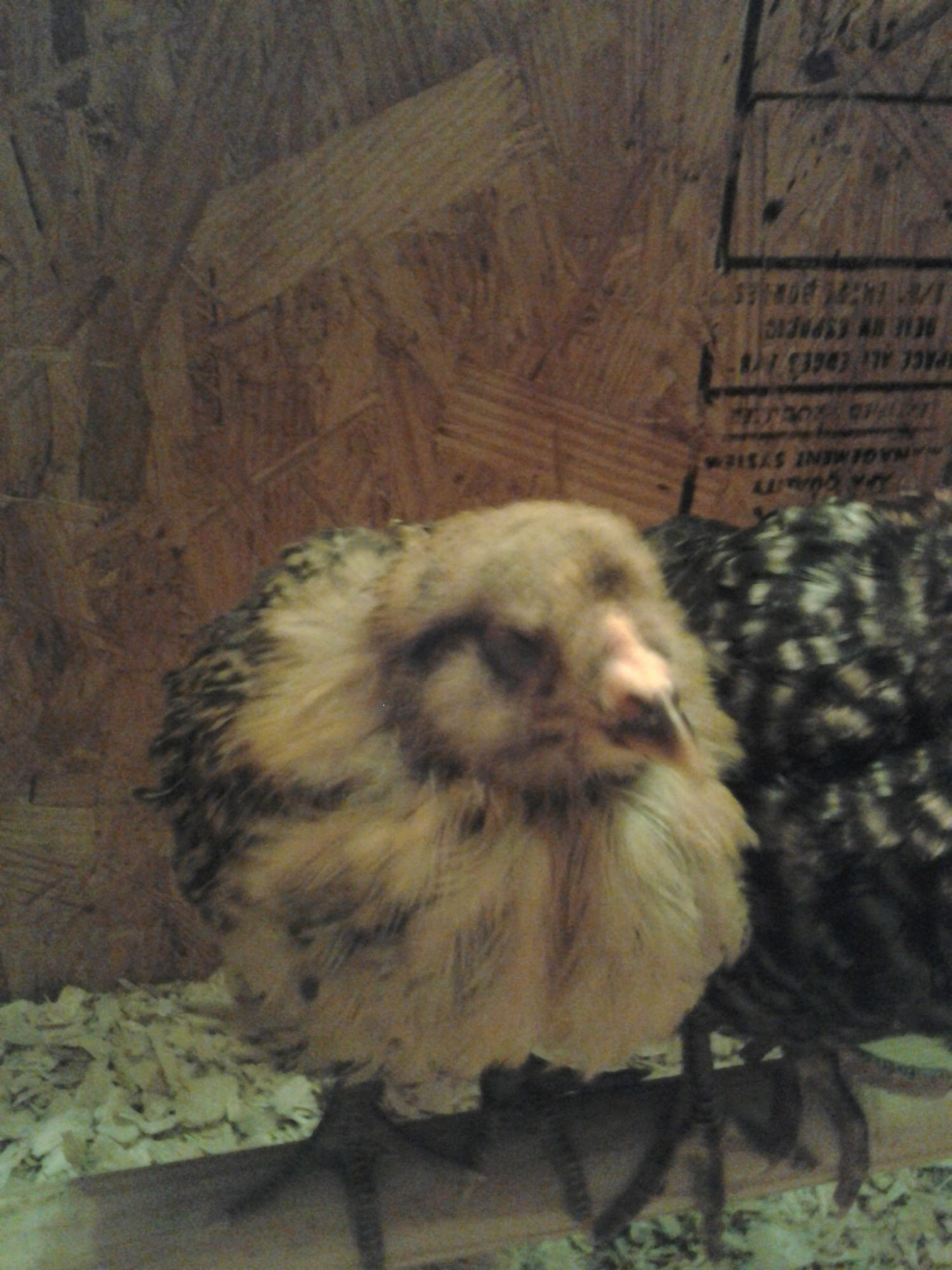 chicks 001.jpg