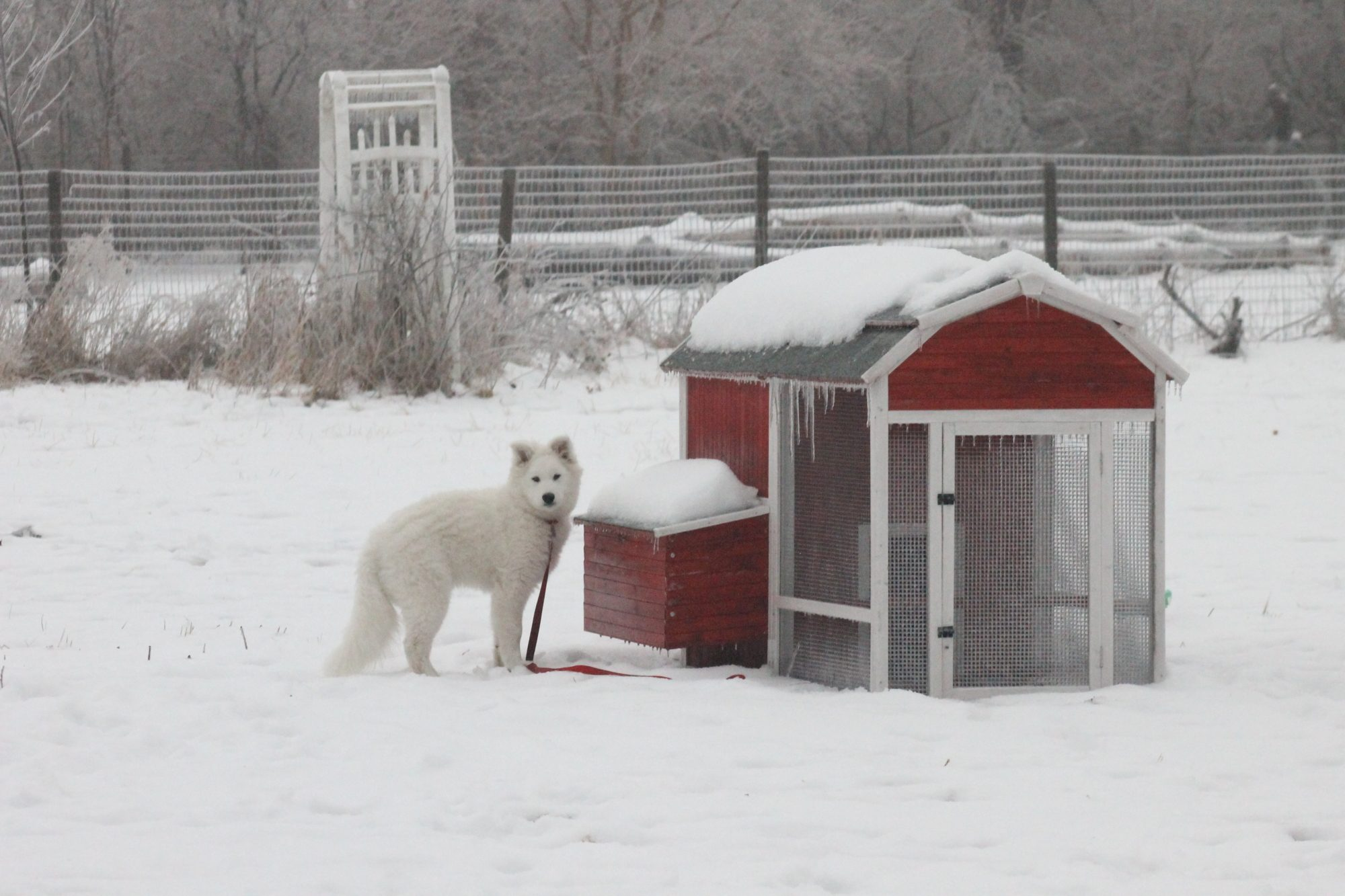 My boy Cooper standing next to the Big Red Barn coop I set up out of the kit in mid-2014. It wintered over surprisingly well, but I wouldn't recommend it without a heat lamp and plenty of shavings inside.