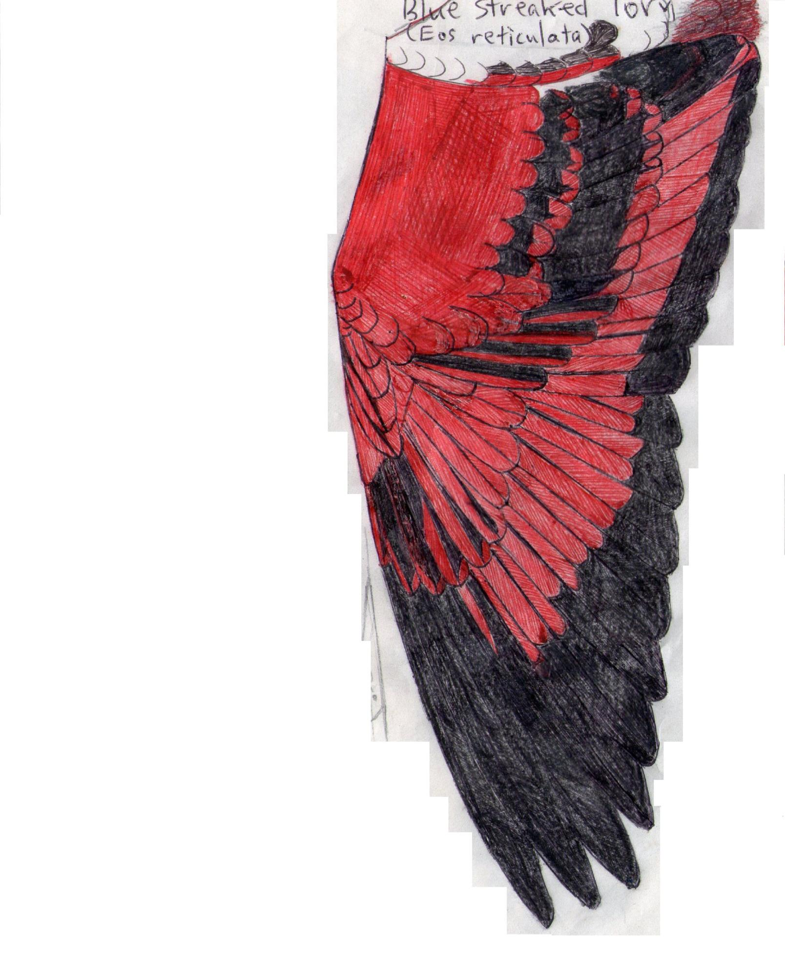 Blue-streaked lory wing.