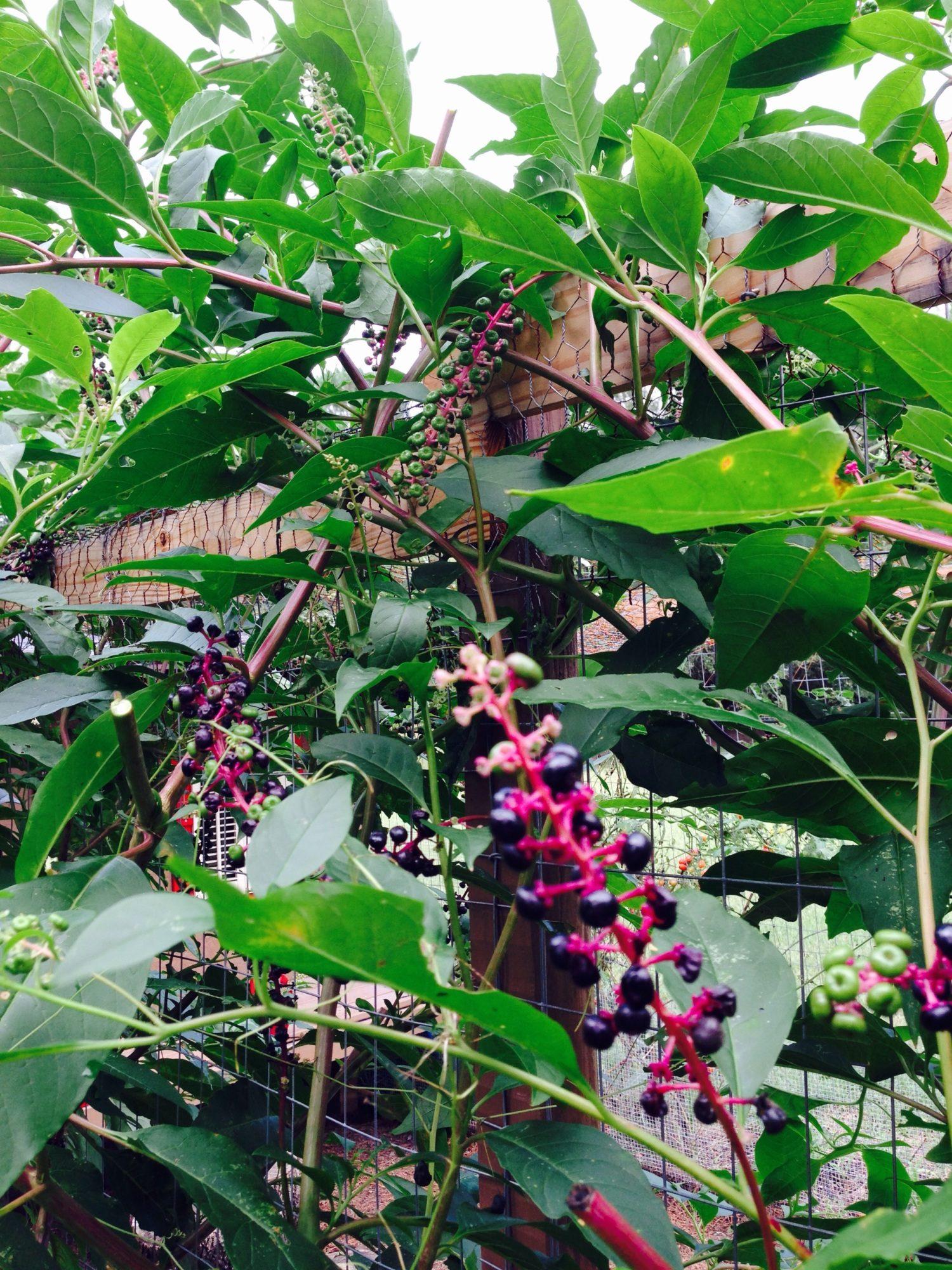 yaldnif's photos in nightshade berries