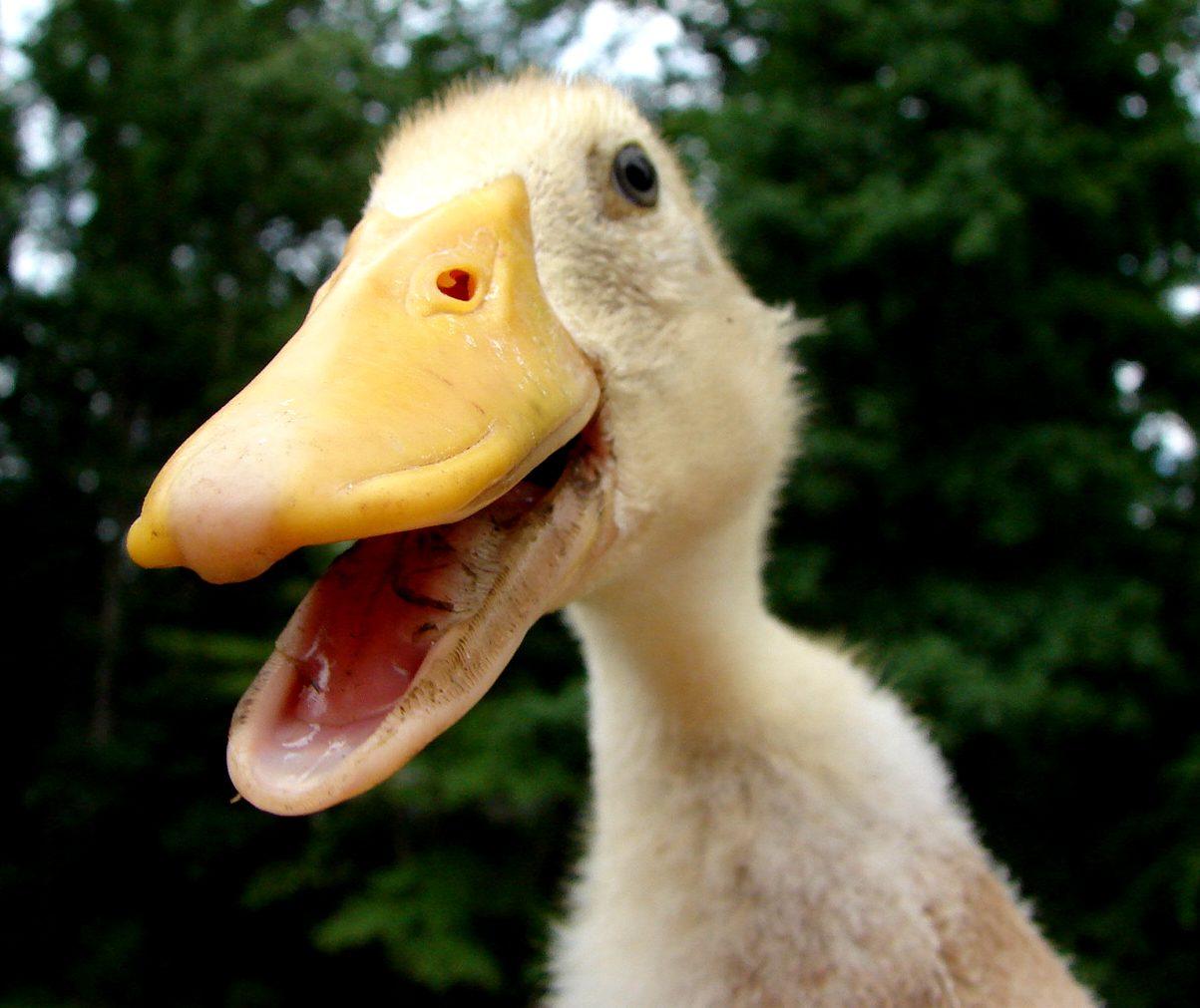 My quack quacks!
