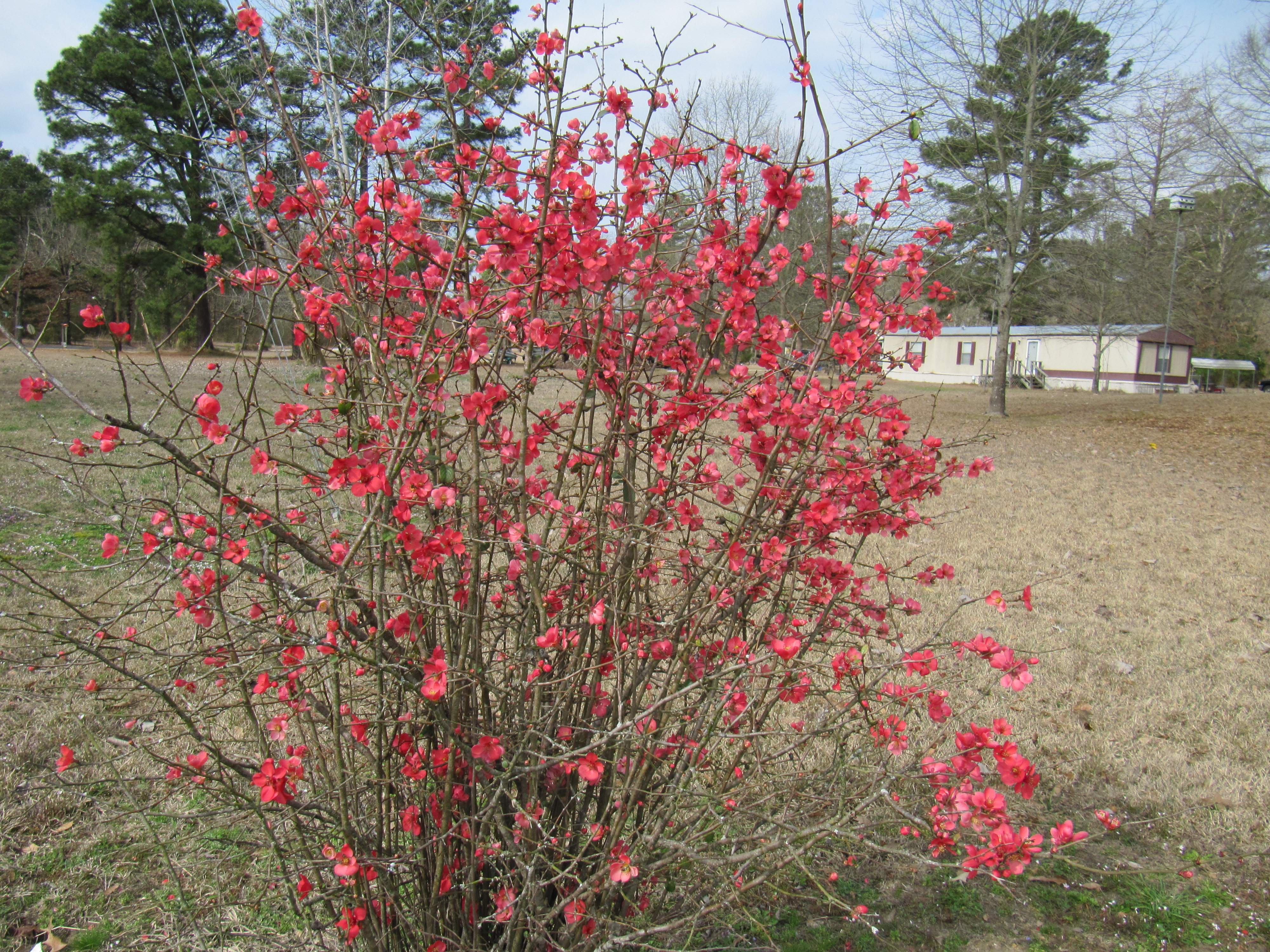 I believe this is called fire bush   make beautiful bouquets with daffodils