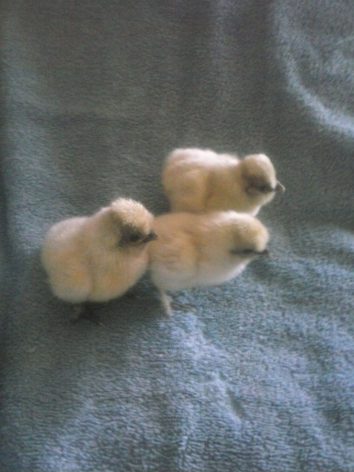 SilkieSensation's photos in Contest #4 Brinsea's Cutest Baby Fowl Photo Contest 5th Annual BYC Easter Hatch-a-long!