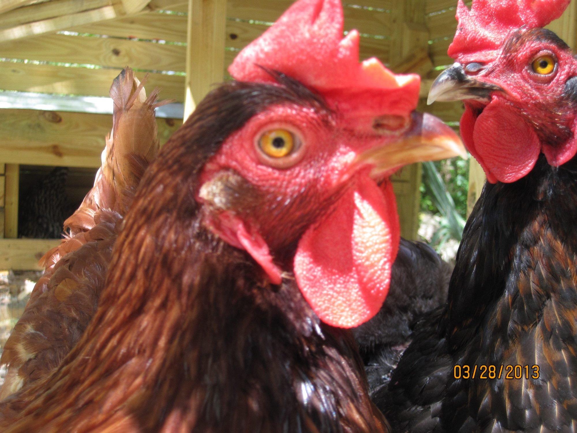 My hens :D