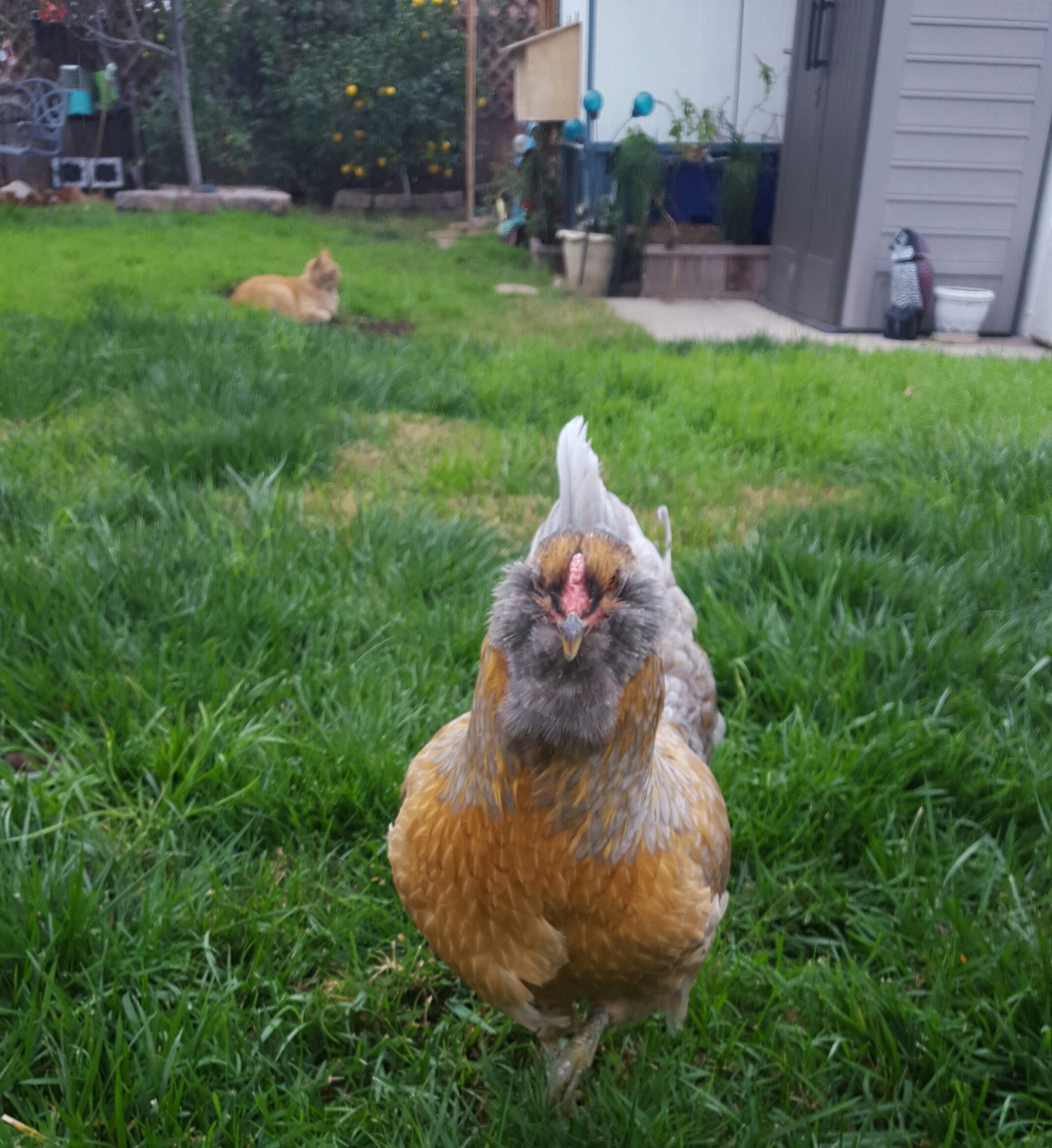JustUsChickens3's photos in Free Easter Egger-Lays Light Green Eggs-Orange County CA pick up
