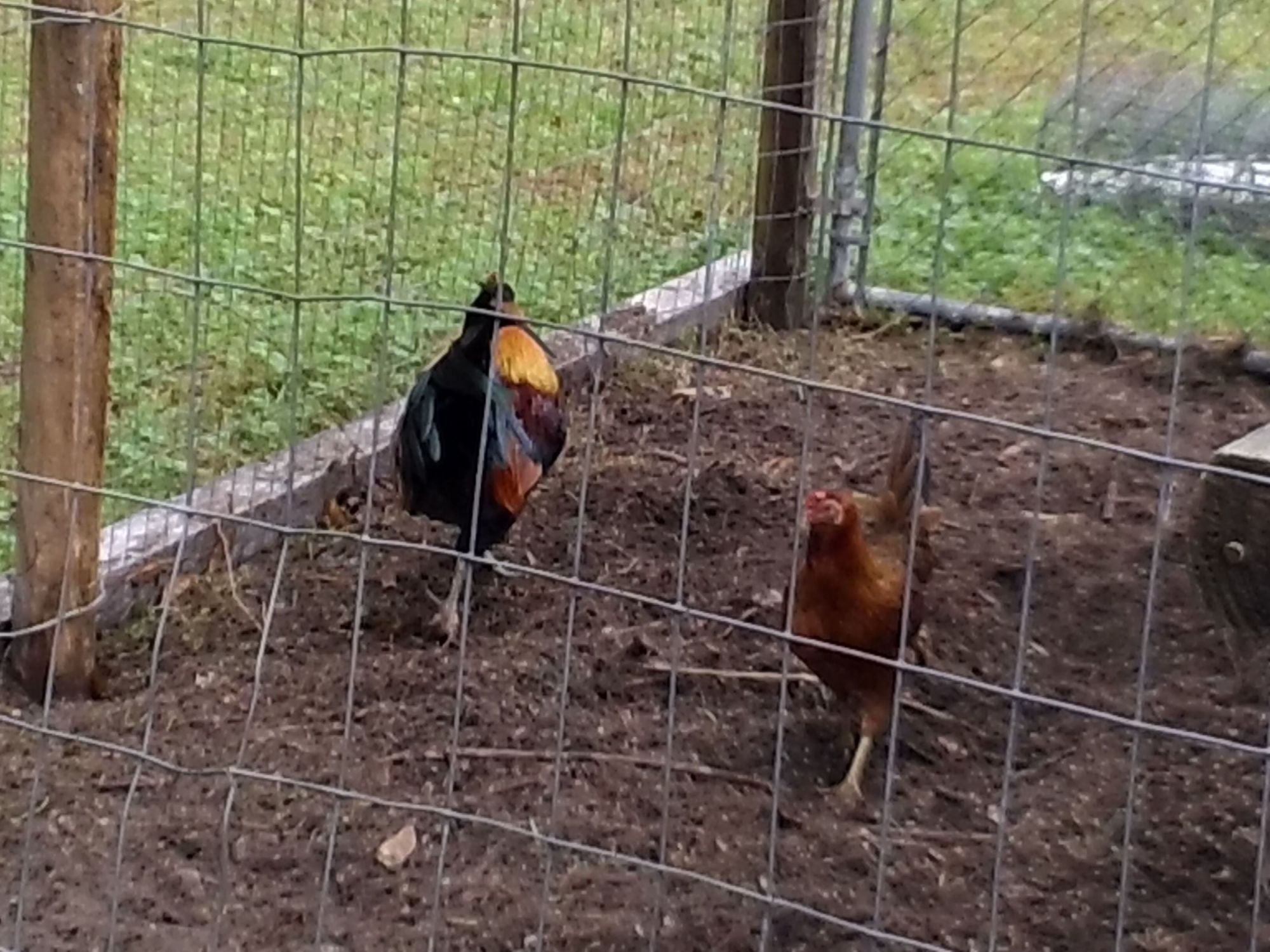 Benny and Hen