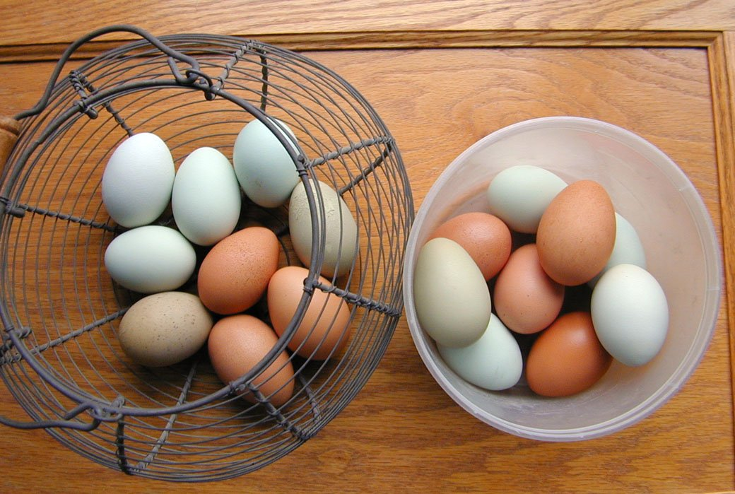 aart's photos in Show the eggs you got today from your birds!