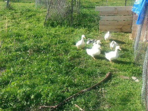 jdywntr's photos in New house/area for my Pekin and Muscovy ducklings PICS