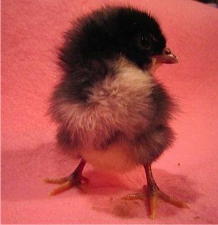 Chicks!!!