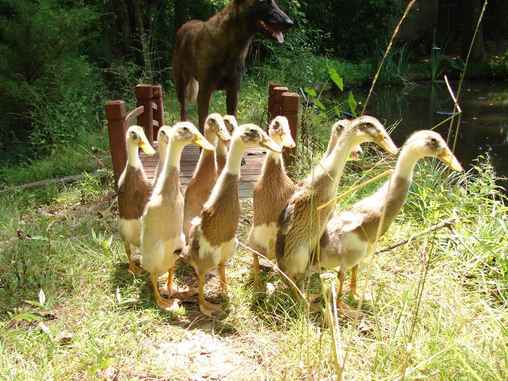 My herd of ducks.