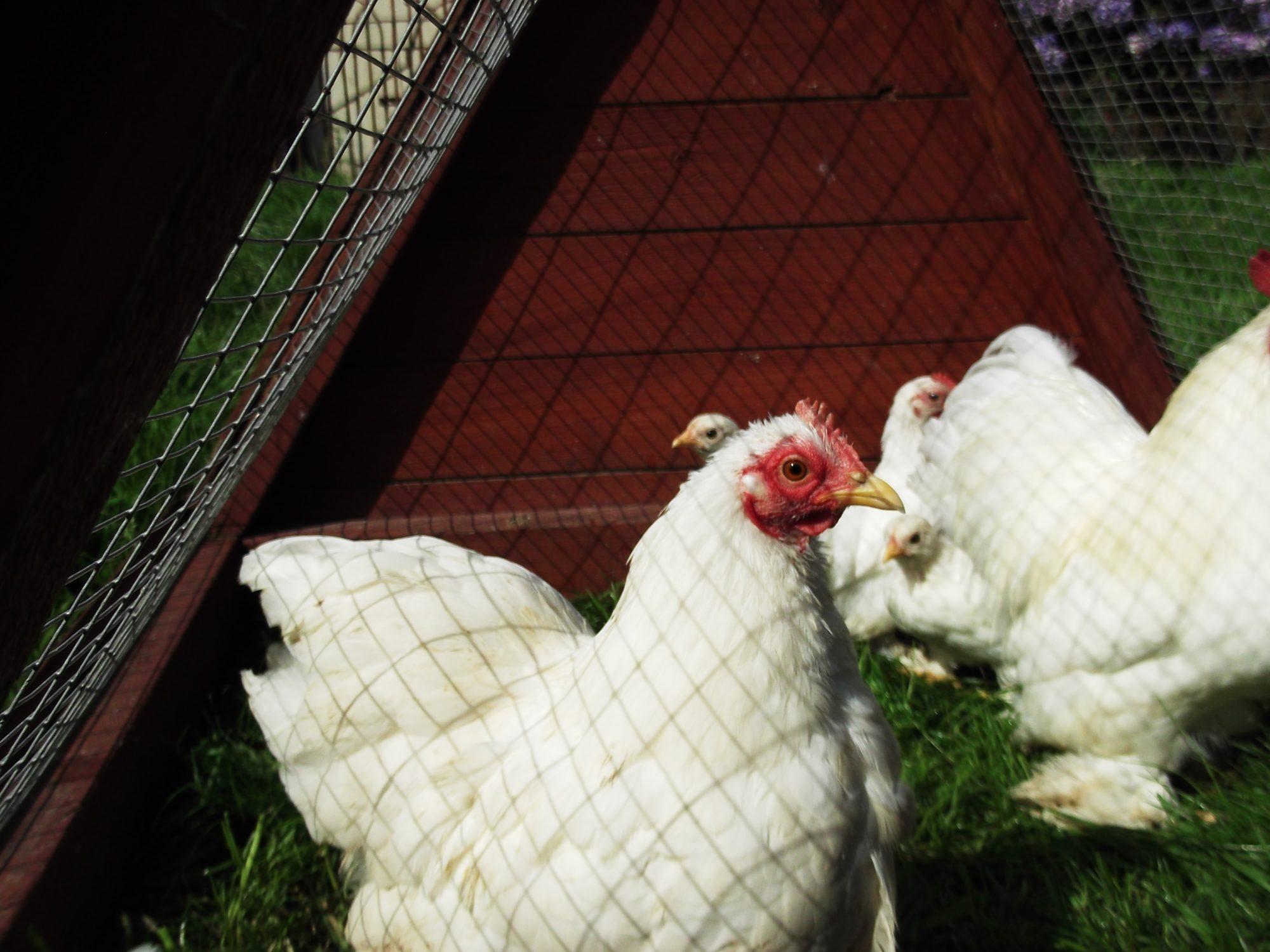 chickencrazy989