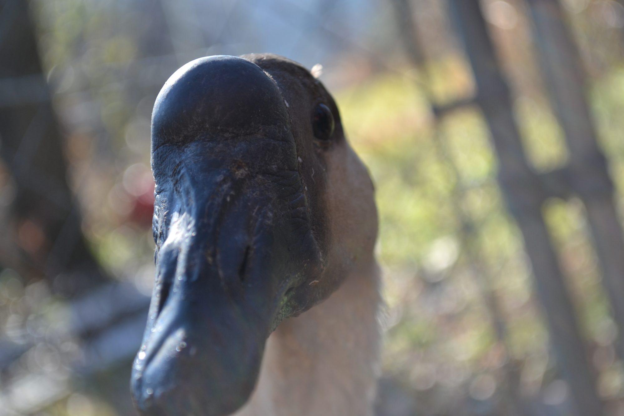 LeBlackbird's photos in Geese Breed Focus - African