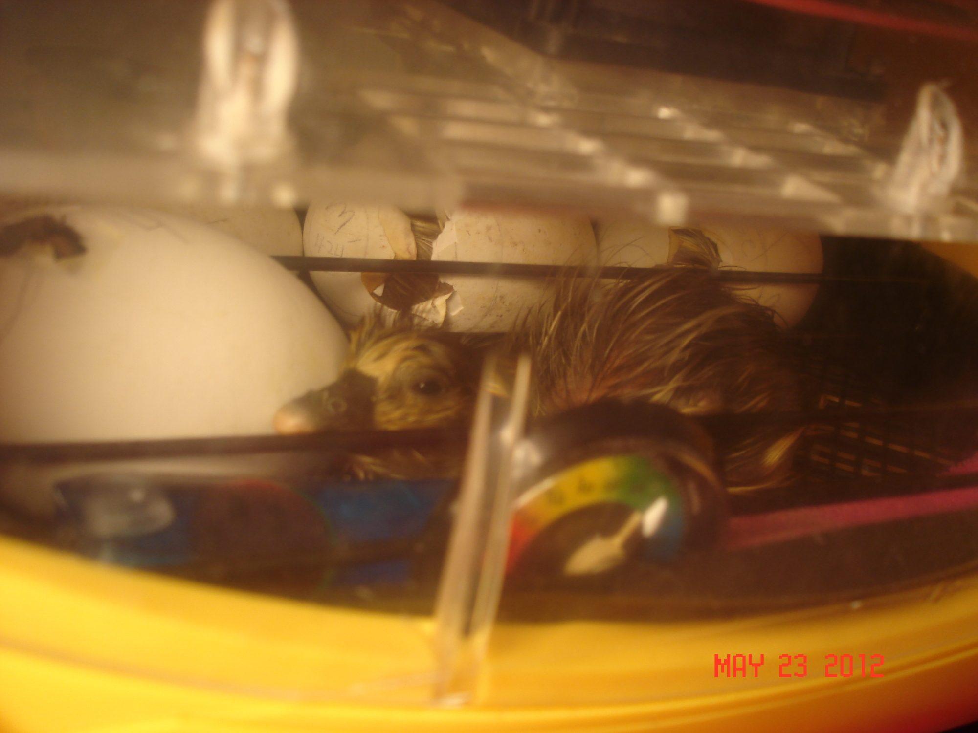 gosling hatching 12.JPG