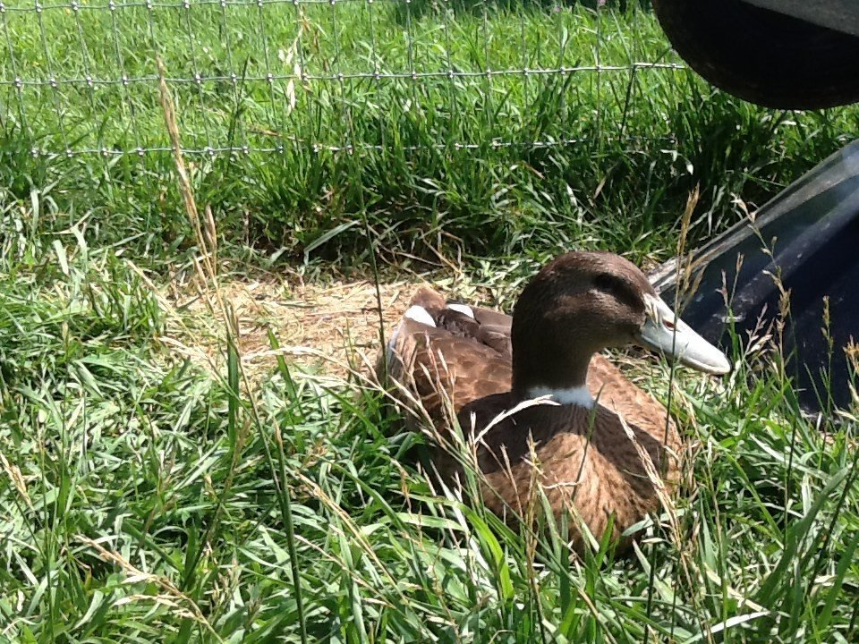 Poultry parent's photos in Anyone know what breed of duck this is?
