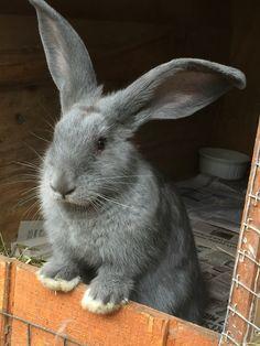 Bunnylady's photos in Flemish Giant Help