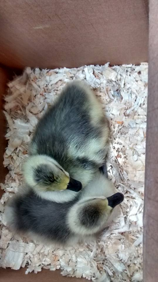 ChickenHermit's photos in Oh my goodness, we have goslings!