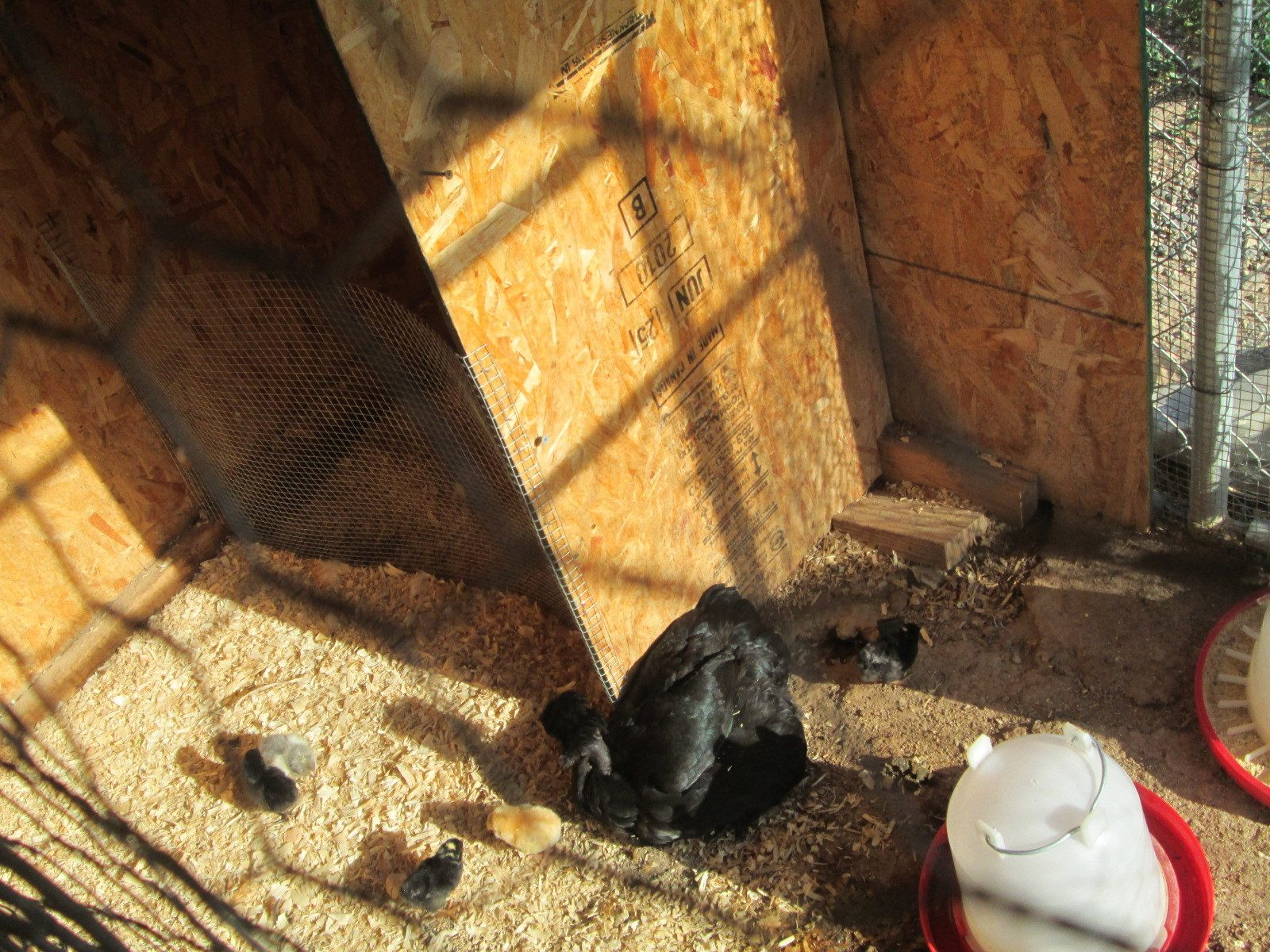 Cynthia12's photos in 2017 Groundhog Day Hatch-a-long Chickens and their Shadows contest!