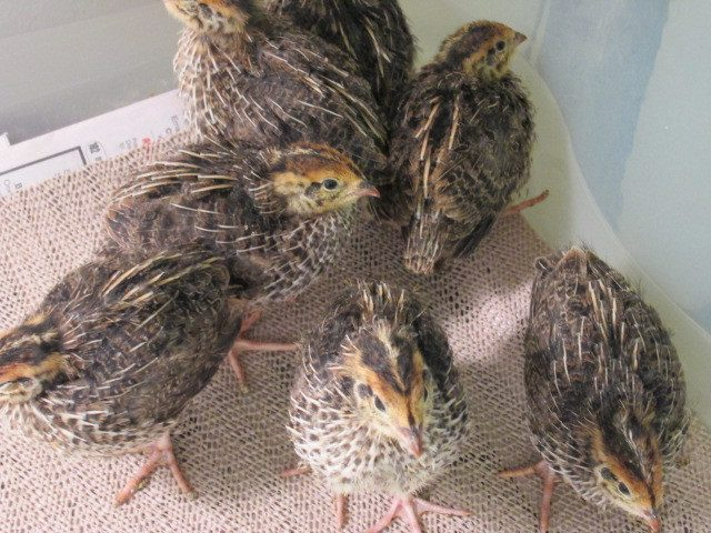 dt1958's photos in Tatanka Breeders Club: Meat Quail project with history, discussion, pictures and videos