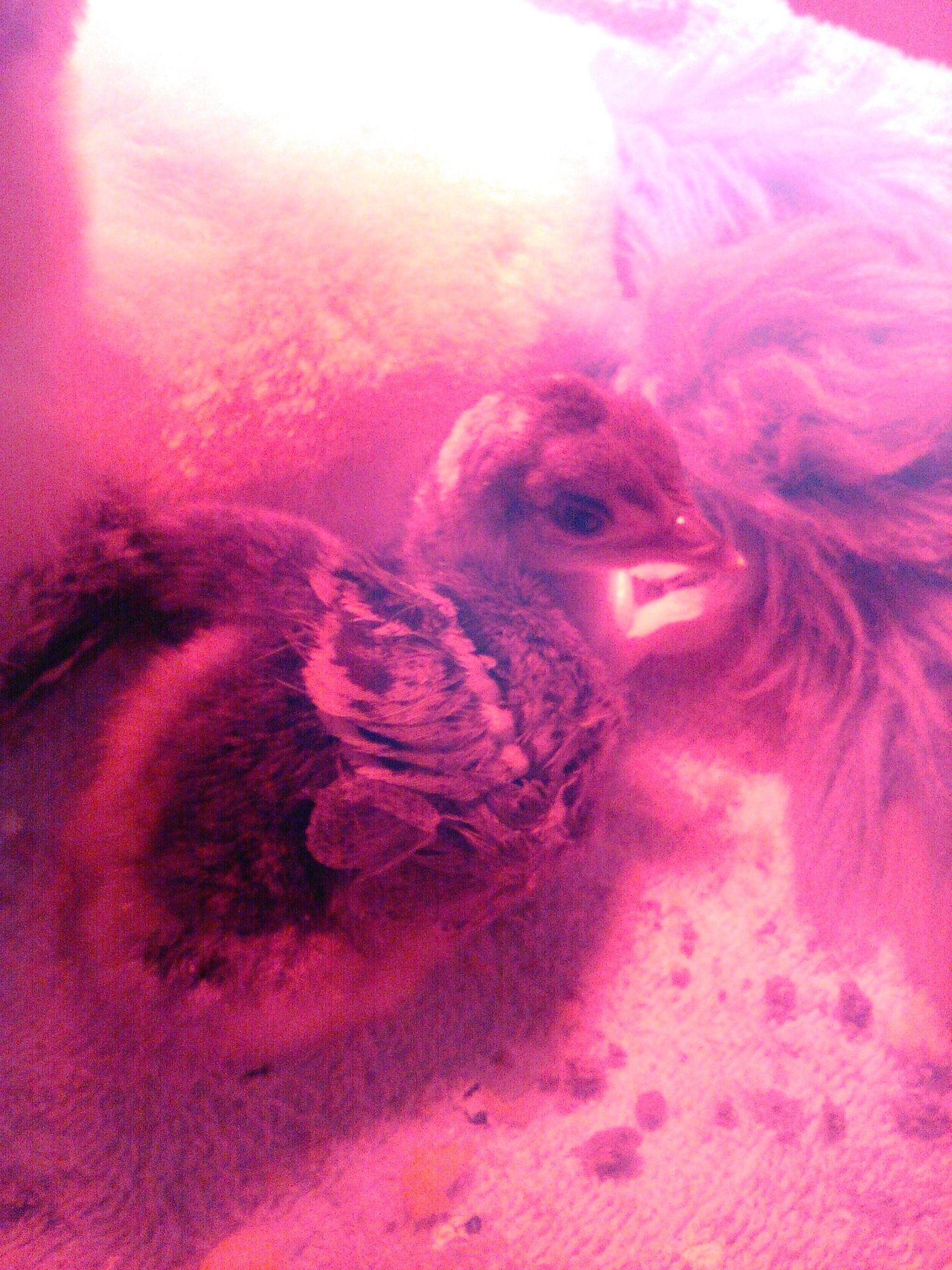 Tripp, our baby peachick with wonky legs.  He is under 24 hours old in this picture